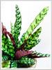 alathea elliptica 'Vittata' (Calathea Vittata, Prayer Plant Vittata)