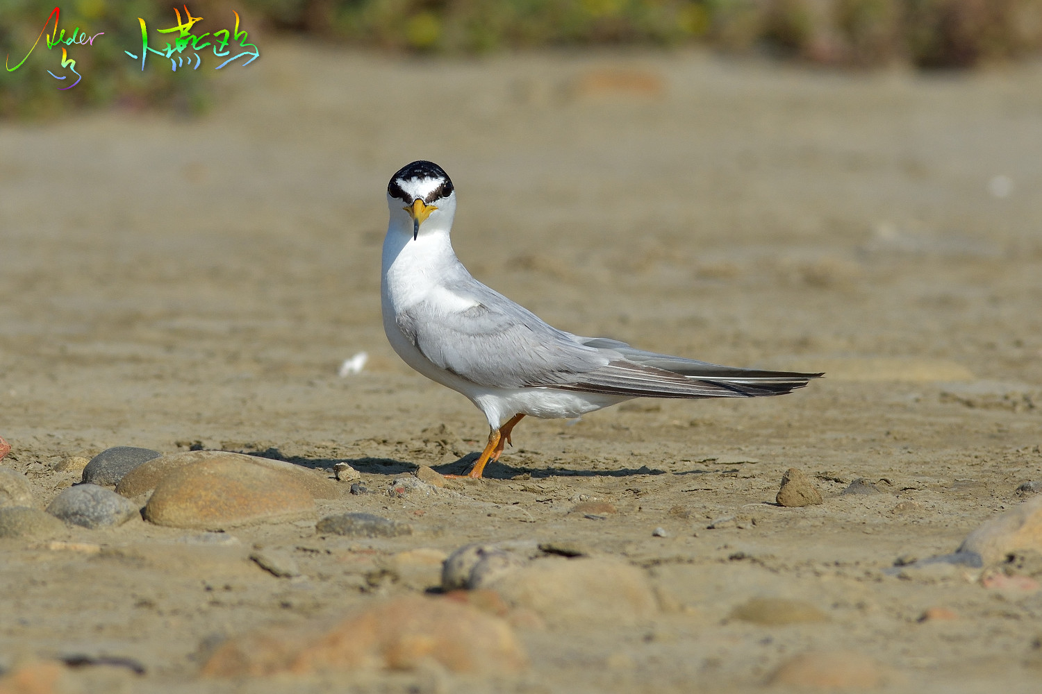Little_Tern_2046