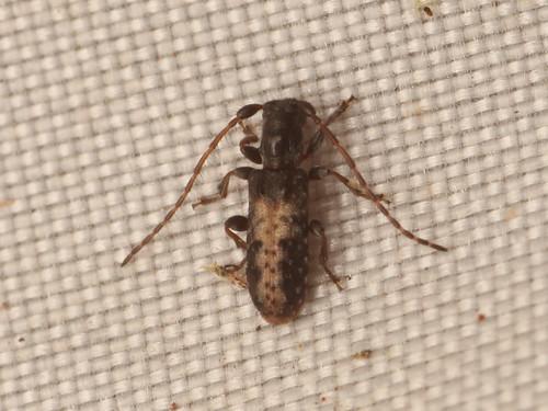 ヘリグロチビコブカミキリ