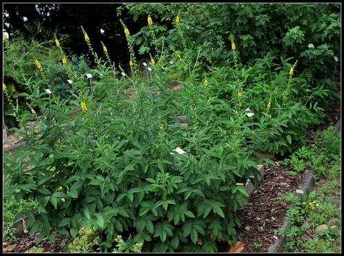 Agrimonia eupatoria -Aigremoine