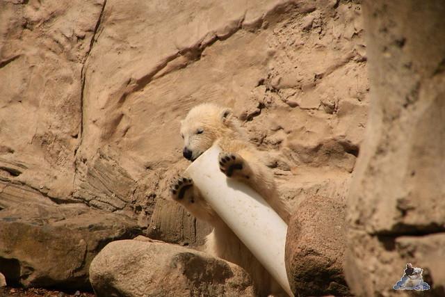 Eisbär Lili im Zoo am Meer 15.05.2016  298