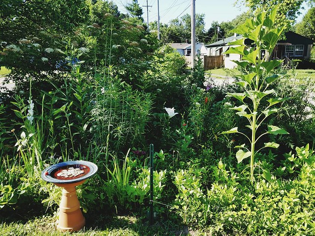 Looks so good over here. Elders still blooming, orienpet lillies and gladiolas starting to open, zinnias popping up. That one massive volunteer sunflower. I had to fence off the flower patch with tposts and twine bc the guy who mows our grass thinks every
