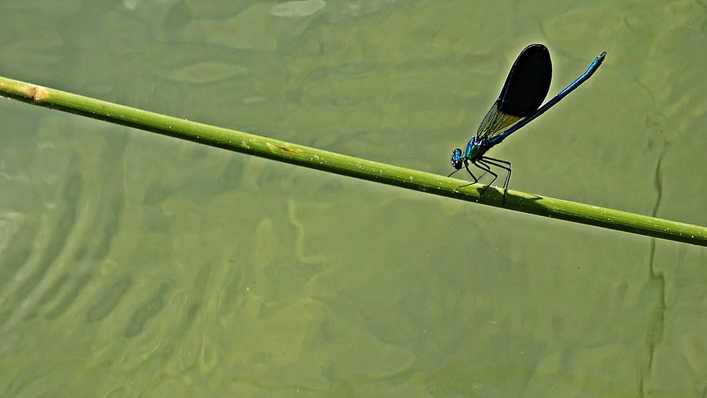 Dragón solazándose en el río Júcar