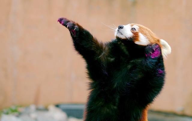 Red Panda-A_220