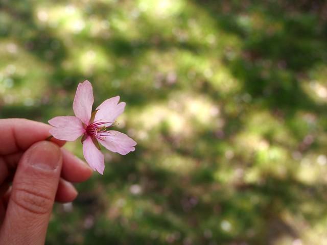 cherryblossomhelsinkiP5124861,japanesestylegardenP5124841,cherryblossomP5124847, cherry blossom, kirsikkapuu, kirsikan kukka, helsinki, roihuvuori, finland, suomi, hanami, helsinki tips, cherry park, japanese style garden, cherry tree park, cherry park, cherry trees, kirsikankukka puu, blooming, kukkia, vaaleanpunainen, pinkki, kukka, flower, cherry blossom helsinki, blue sky, sininen taivas, may, toukokuu, kesä, summer, kevät, spring, suomi, cherry woods, kirisikkapuisto, roihuvuori, japanilaistyylinen puutarha, kirsikan kukka,
