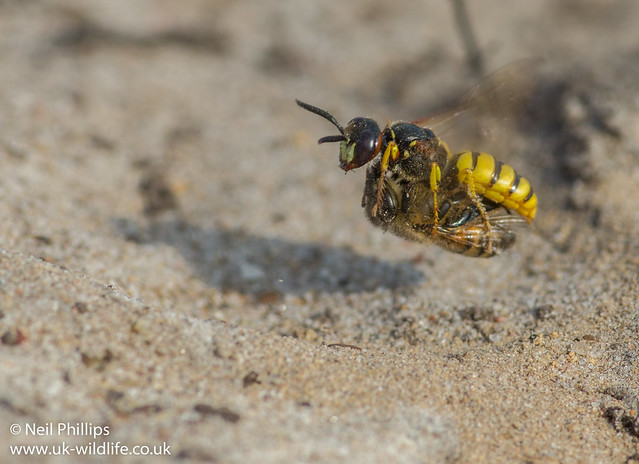 bee wolf hovering with prey