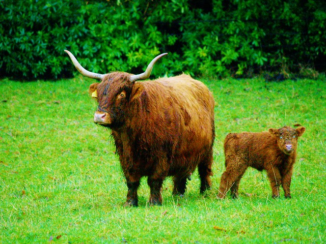 Highland Cows at Pollok Park, Glasgow, Scotland.