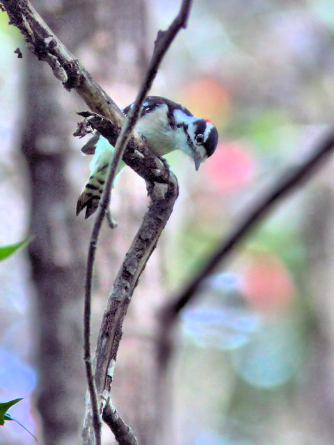 Downy Woodpecker HDR 20160925