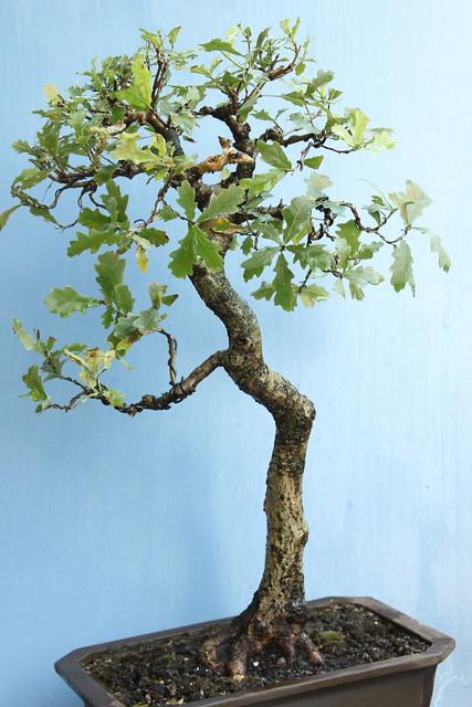 English Oak 29512858286_244a483161_z