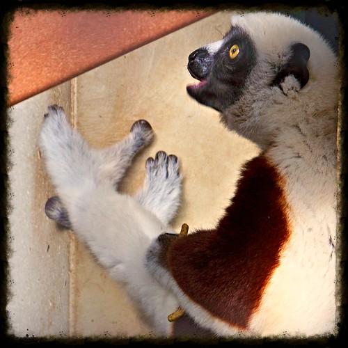 duke lemur 1