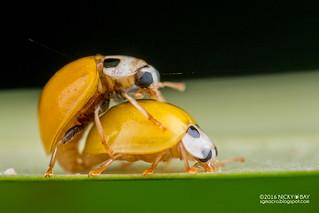 Ladybirds mating (Illeis cf. koebelei) - DSC_1855