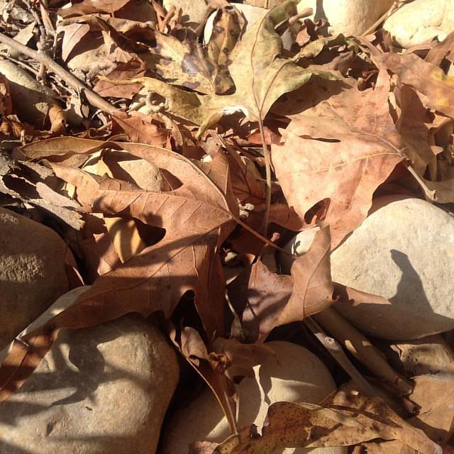 Syrian maple #fall #autumn