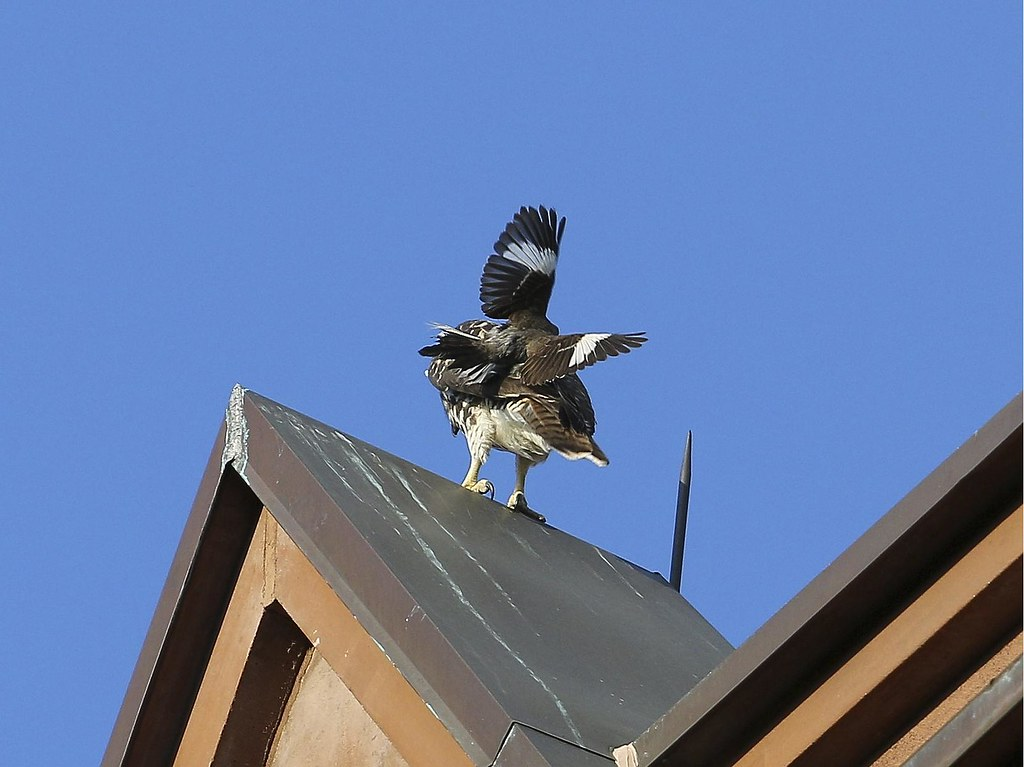 Mockingbird attacks fledgling hawk