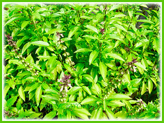 Ocimum basilicum thriving beautifully, 25 Aug. 2011