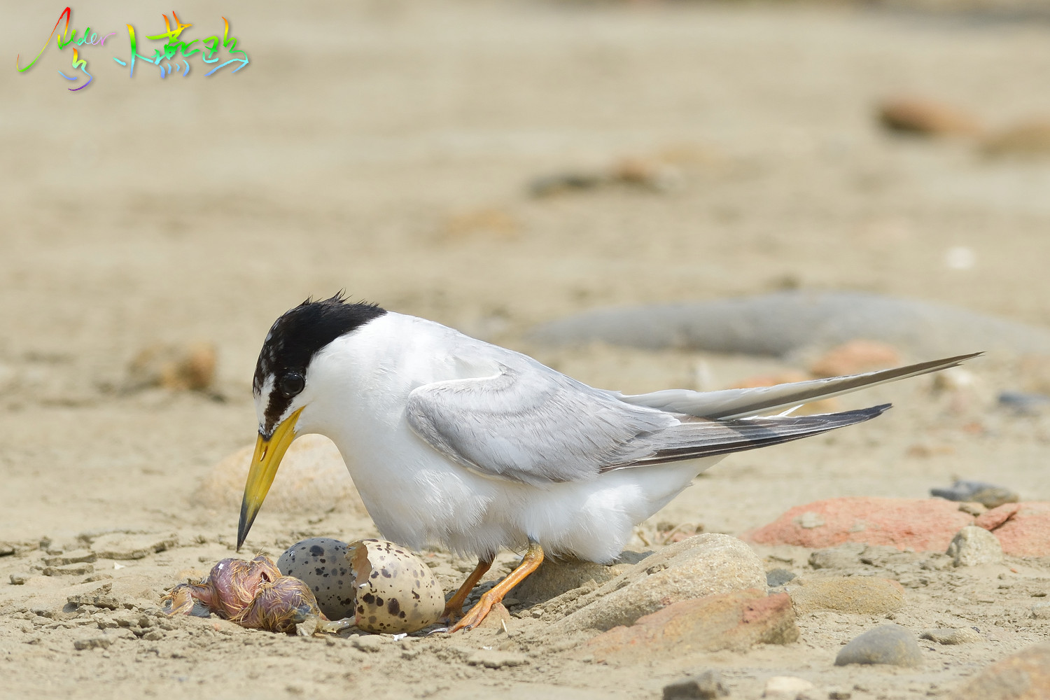Little_Tern_4846