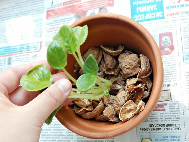 сельхоз-эксперимент, в горшке с фиалкой вместо дренажа скорлупа от грецкого ореха | ХорошоГромко.ру