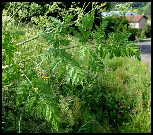 Chaerophyllum aureum (1)