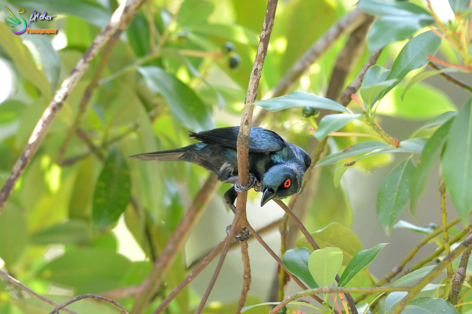 Asian_Glossy_Starling_7595
