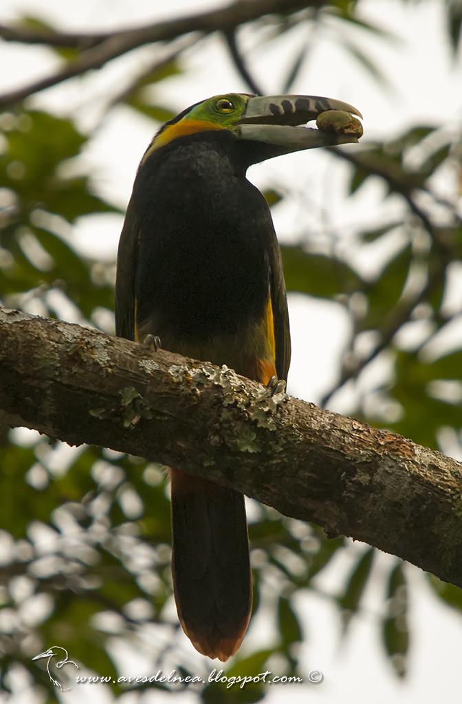 Arasarí chico (Spot-billed Toucanet) Selenidera maculirostris