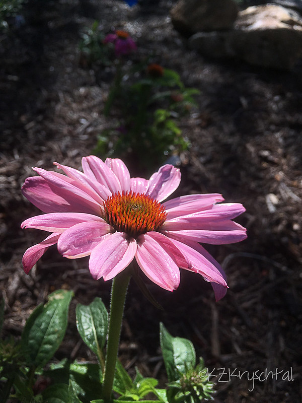 IMG_1300PowWowWildBerryConeflower