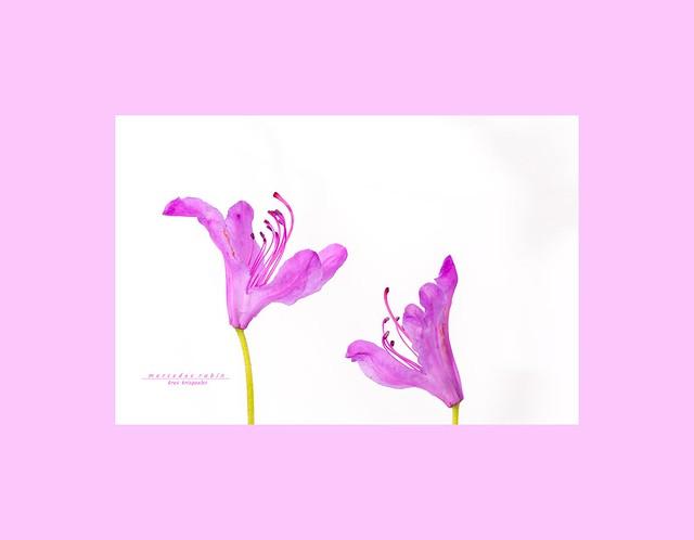 de color... rosa