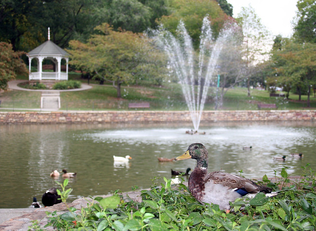 Ducks at Lake Spring Park - Salem