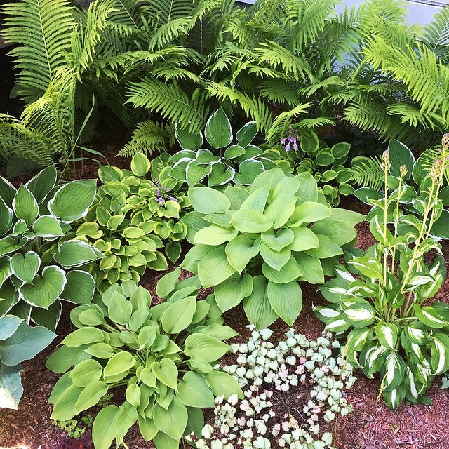 #Hosta corner. #lamium in the front is looking a little... dead in the middle.