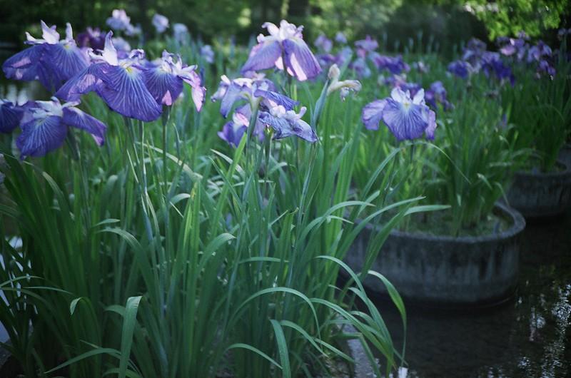 花菖蒲 / Iris