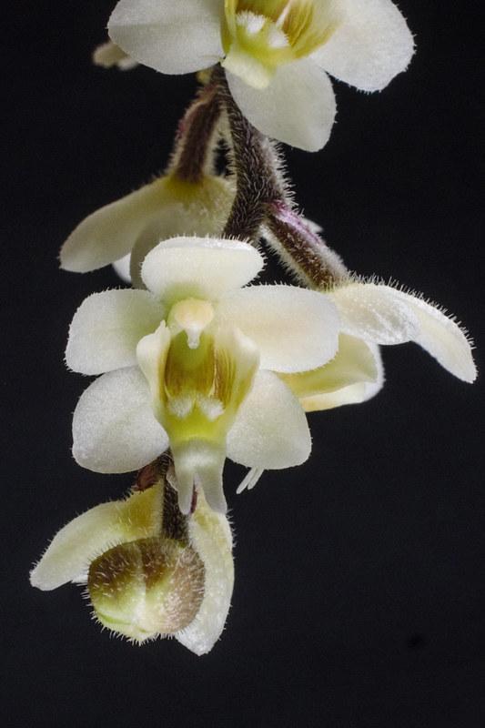 Chiloschista: Blattlose Orchideen  27753659086_3c21937839_c