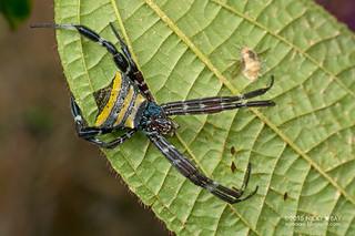 St Andrew's cross spider (Argiope doleschalli) - DSC_6000