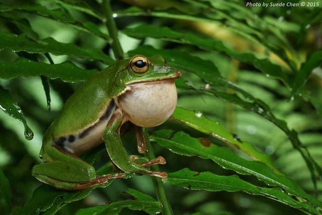 翡翠樹蛙 Rhacophorus prasinatus Mou, Risch, & Lue, 1983