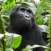 Eastern gorilla by Peter Stoel
