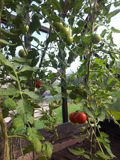 Tomato 'Malle'