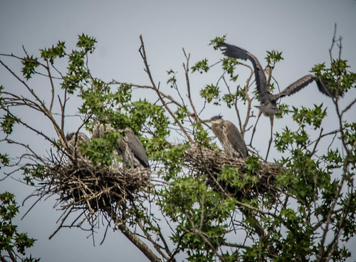 Lake Connestee Heron Rookery-014