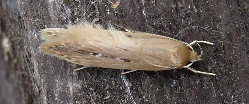 Limnaecia phragmitella Tophill Low NR, East Yorkshire July 2016