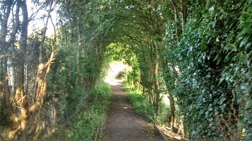 hawthorn hedge Aug 16 2