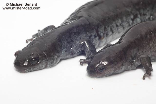 Two female Ambystoma salamanders