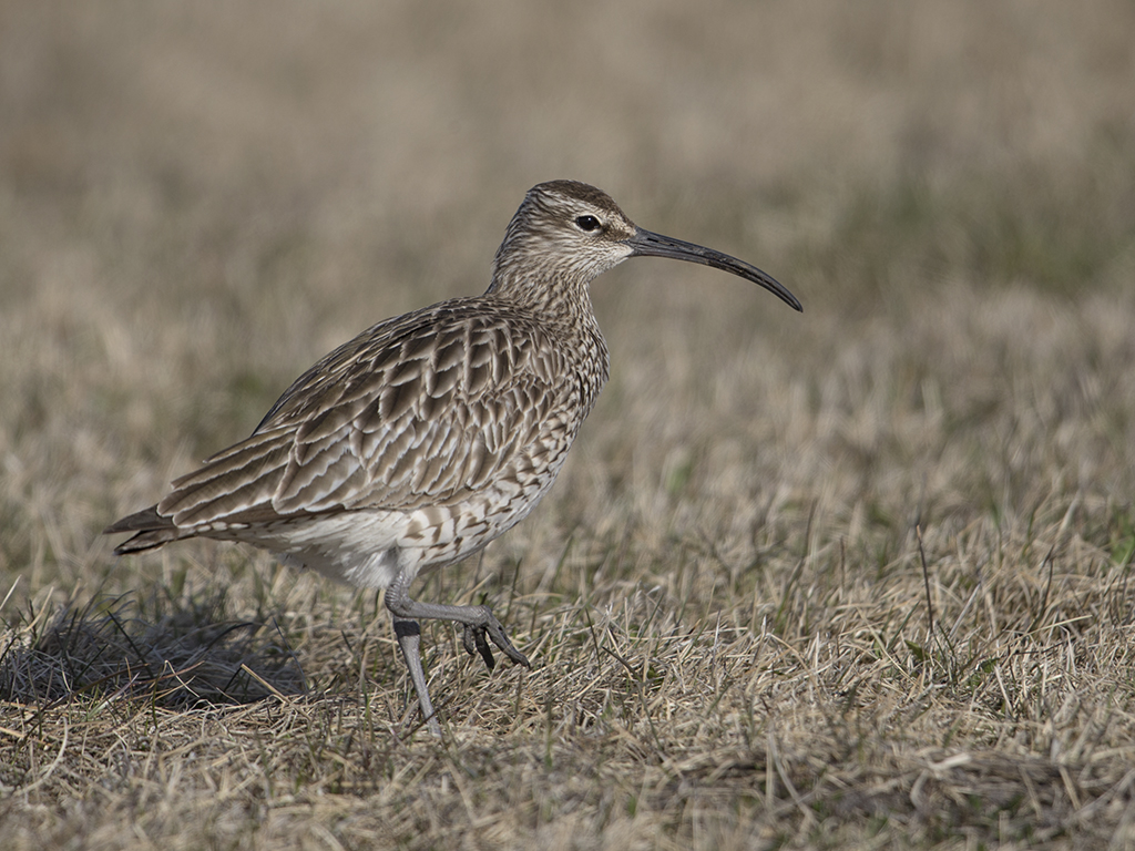 Whimbrel  Iceland