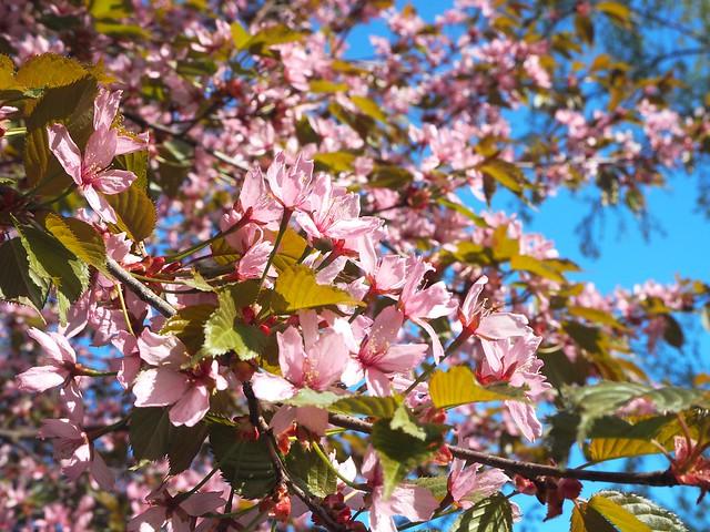 cherryblossomP5125059,japanesestylegardenP5124841,cherryblossomP5124847, cherry blossom, kirsikkapuu, kirsikan kukka, helsinki, roihuvuori, finland, suomi, hanami, helsinki tips, cherry park, japanese style garden, cherry tree park, cherry park, cherry trees, kirsikankukka puu, blooming, kukkia, vaaleanpunainen, pinkki, kukka, flower, cherry blossom helsinki, blue sky, sininen taivas, may, toukokuu, kesä, summer, kevät, spring, suomi, cherry woods, kirisikkapuisto, roihuvuori, japanilaistyylinen puutarha,