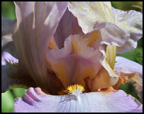 Lingering Lavender (9)