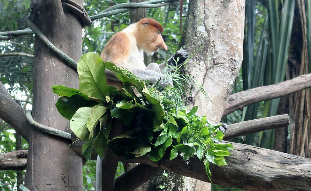 Proboscis monkey, Singapore Zoo