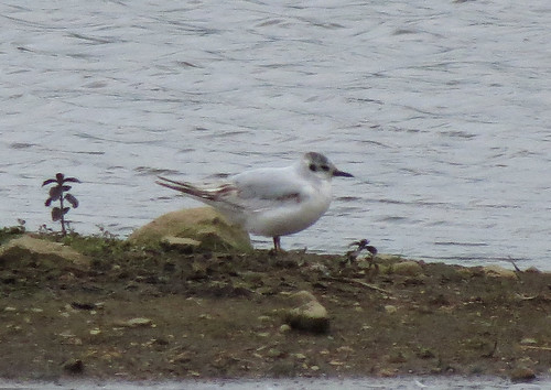 Little Gull Hydrocoloeus minutus Tophill Low NR, East Yorkshire July 2016