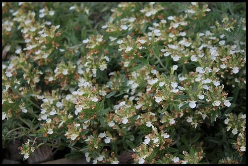Teucrium montanum (2)