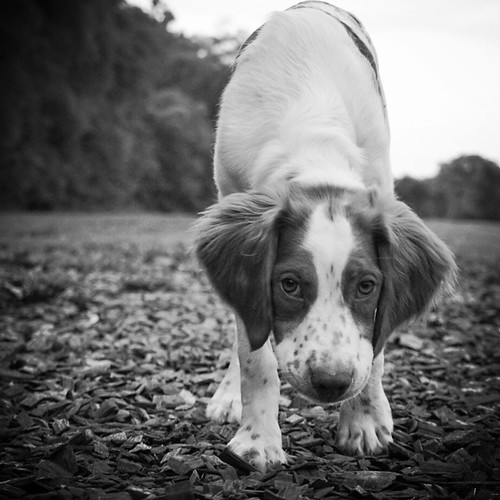 Brittany Spaniel at the dog park, 5 months old