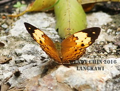 Butterfly - Cupha erymanthis