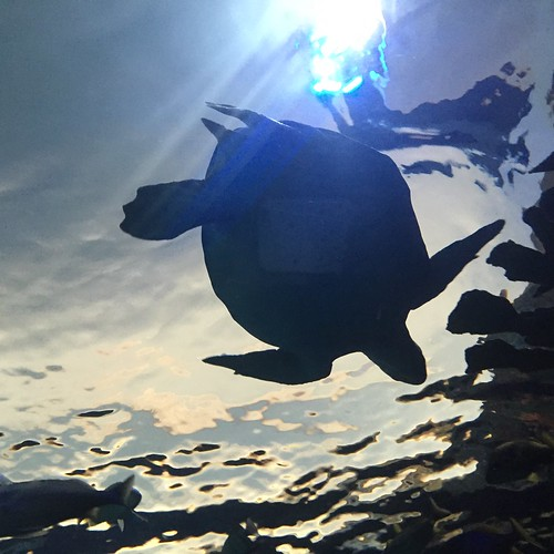 Tortoise overhead at Ripley's Aquarium in Toronto