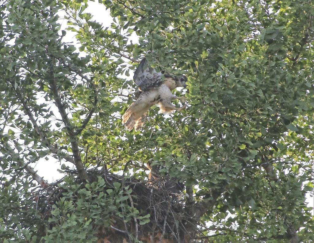 Hawklet branching