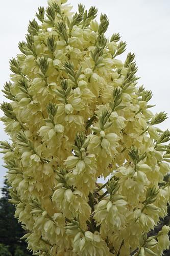 Yucca rostrata 17864242606_1bf99cf87d