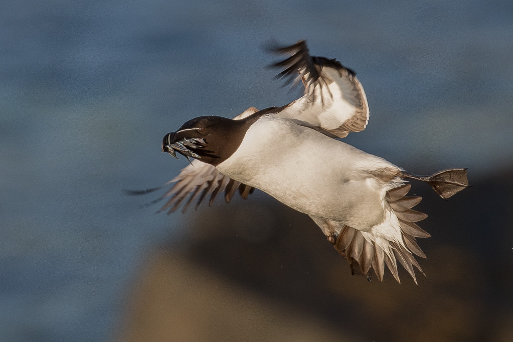 Razorbill      Isle of May,Scotland,2016