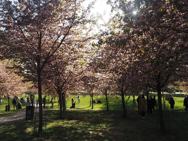 candytreesP5125106,candygirlcherrytreepark2P5125066, cherry park, helsinki, suomi, finland, roihuvuori, kirsikkapuisto, cherry tree park, kirsikkapuu puisto, blossom, kukinta, sakura, itä-helsinki, east helsinki, lovely, ihana, green, pink, vihreä, pinkki, sun, aurinko, flowers, kukat, blossom, kukinta, may, toukokuu, kevät, spring, vaaleanpunainen, takki, coat, light pink, pale pink, cherry blossom girl, kirsikankukka tyttö, nature, luonto,